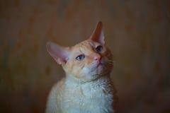Piękny kot z kędzierzawym włosy Fotografia Royalty Free