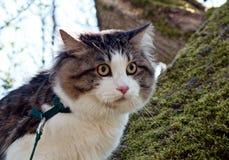 Piękny kota Kurilian bobtail chodzi w wiośnie w parku na smyczu Migdali obsiadanie na drzewie, zbliżenie portret fluffy kota zdjęcie stock