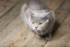 Piękny kota portret, zakończenie widok fotografia royalty free