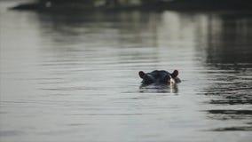 Piękny krajobraz Hipopotam sterczy jego kagana od wody, spojrzenia w kamerę w Afryka zbiory