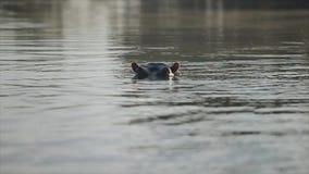 Piękny krajobraz morze Hipopotam sterczy jego kagana od wody, spojrzenia w kamerę zbiory wideo