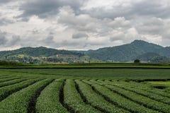 Piękny krajobraz oolong herbaciane plantacje na wzgórza tła n Singha parku, Tajlandia fotografia royalty free