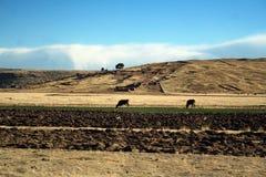 Piękny krajobraz z krowami i niebieskim niebem Zdjęcia Royalty Free