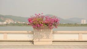 Piękny krajobraz z kwiatu flowerbed bougainvillea na drodze Brzęczenia Tęsk miasto Wietnam zbiory