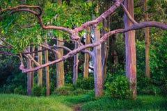 Piękny krajobrazowy widok kolorowi malujący eukaliptusowi drzewa Obrazy Stock