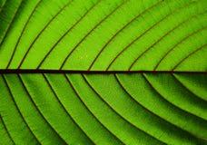 Piękny krata liścia tekstury zbliżenie Fotografia Royalty Free