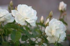 Piękny krzak kwitnie biel ogrodowe róże w wieczór świetle na natury tle dla kalendarza Obraz Royalty Free