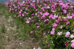Piękny krzak różowe róże w wiosna ogródzie śródpolny kwiat Pole herbata wzrastał Ogród różany obraz royalty free
