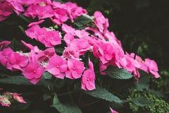 Piękny krzak różowi kwitnienie kwiaty Tekstura dla tapety lub sieci sztandaru Kwitnący hortensi zakończenie up Zdjęcie Stock