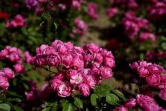 Piękny kształt tworzący czerwonymi kwiatami fotografia stock