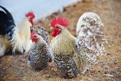 Piękny kurczaka koguta bantam gaworzy w gospodarstwie rolnym - Biały bantam kogut obrazy royalty free