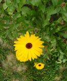piękny kwiat żółty obrazy stock