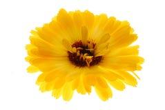 piękny kwiat żółty fotografia royalty free