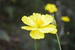 piękny kwiat żółty zdjęcie royalty free