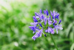 piękny kwiat Błękitny agapant w ogródzie Zdjęcie Royalty Free