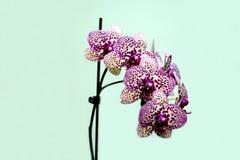Piękny kwiat czerwony świeży storczykowy kwiat Obraz Royalty Free