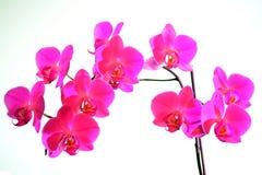 Piękny kwiat czerwony świeży storczykowy kwiat Obrazy Royalty Free