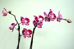 Piękny kwiat czerwony świeży storczykowy kwiat Fotografia Stock