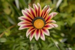 Piękny kwiat gazania w ogródzie obrazy stock