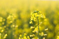Piękny kwiat gwałt Wiele kolorów żółtych kwiatów zakończenie z piękną plamą, bokeh, selekcyjna ostrość Fotografia Stock