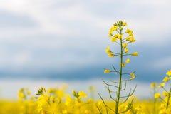 Piękny kwiat gwałt Wiele kolorów żółtych kwiatów zakończenie z piękną plamą, bokeh, selekcyjna ostrość Zdjęcia Stock