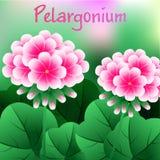 Piękny kwiat, Ilustracyjna wiązka Piękni Czerwoni bodziszków kwiaty lub Pelargonium Graveolens, wektor Zdjęcia Royalty Free
