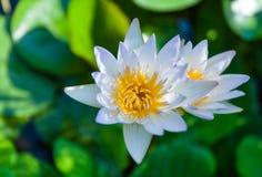 piękny kwiat lotos Zdjęcie Royalty Free