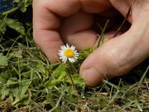 Piękny kwiat Margarita, miniaturowa roślina, lokalizuje w Tucacas, Falcà ³ n stan, Wenezuela Świat w miniaturze obrazy royalty free