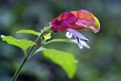 Piękny kwiat Meksykańska garnela Zdjęcie Stock