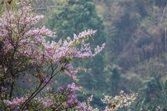 Piękny kwiat Na Dużym drzewie W Tropikalnym lesie, Kamphaengphet Obrazy Royalty Free