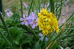 Piękny kwiat Północny Pamirs zdjęcia stock