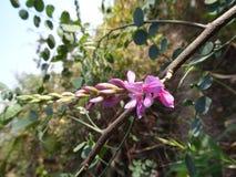 Piękny kwiat prawdziwej indygowej indigofera indica rośliny makro- zakończenie w górę fotografia royalty free