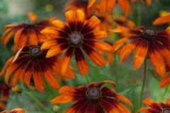 piękny kwiat tło Zadziwiający widok jaskrawa pomarańcze Obrazy Royalty Free