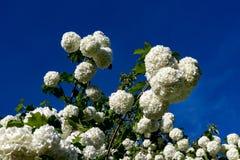 Piękny kwiat viburnum na winogradzie Białe kwiatonośne piłki viburnum w domu uprawiają ogródek obraz royalty free
