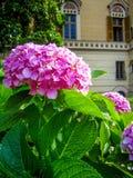 Piękny kwiat w włoskim miasto parku Arenzano obraz royalty free