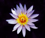 Piękny kwiat wodna leluja