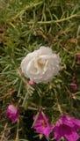 Piękny kwiat z niektóre różowi zdjęcie stock