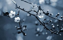 Piękny kwiatonośny japończyk Sakura Zdjęcie Royalty Free