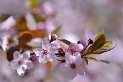 Piękny kwiatonośny Japoński czereśniowy Sakura Sezonu tło Plenerowy naturalny zamazany tło z kwiatonośnym drzewem Zdjęcie Stock