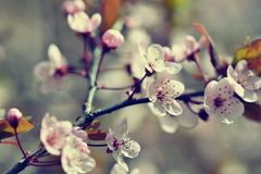 Piękny kwiatonośny Japoński czereśniowy Sakura Sezonu tło Plenerowy naturalny zamazany tło z kwiatonośnym drzewem w wiośnie Obraz Stock