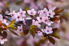 Piękny kwiatonośny Japoński czereśniowy Sakura Sezonu tło Plenerowy naturalny zamazany tło z kwiatonośnym drzewem w wiośnie Zdjęcie Stock