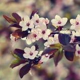 Piękny kwiatonośny Japoński czereśniowy Sakura Sezonu tło Plenerowy naturalny zamazany tło z kwiatonośnym drzewem w wiośnie Obrazy Royalty Free