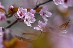 Piękny kwiatonośny Japoński czereśniowy Sakura Sezonu tło Plenerowy naturalny zamazany tło z kwiatonośnym drzewem w wiośnie Zdjęcia Stock