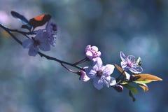 Piękny kwiatonośny Japoński czereśniowy Sakura Sezonu tło Plenerowy naturalny zamazany tło z kwiatonośnym drzewem w wiośnie Fotografia Stock