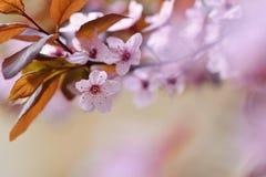 Piękny kwiatonośny Japoński czereśniowy Sakura Sezonu tło Plenerowy naturalny zamazany tło z kwiatonośnym drzewem w wiośnie su Obrazy Royalty Free