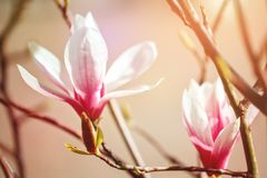 Piękny kwiatonośny Magnoliowy drzewo z różowymi kwiatami tło mleczy spring pełne meadow żółty Obraz Royalty Free