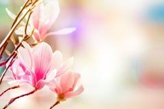 Piękny kwiatonośny Magnoliowy drzewo z różowymi kwiatami tło mleczy spring pełne meadow żółty Obrazy Royalty Free