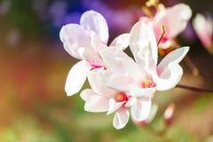 Piękny kwiatonośny Magnoliowy drzewo z różowymi kwiatami tło mleczy spring pełne meadow żółty Obrazy Stock