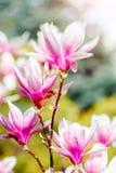 Piękny kwiatonośny Magnoliowy drzewo z różowymi kwiatami tło mleczy spring pełne meadow żółty Zdjęcie Stock