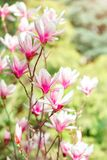 Piękny kwiatonośny Magnoliowy drzewo z różowymi kwiatami tło mleczy spring pełne meadow żółty Zdjęcia Stock
